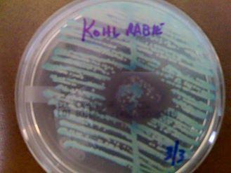 Kohl Rabie petri