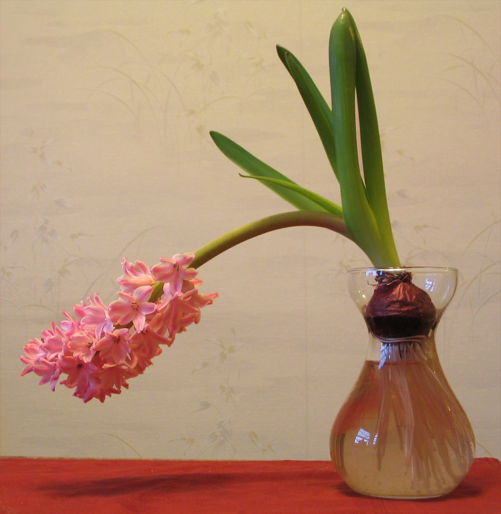 limp hyacinth