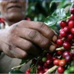 Coffee Beans…The Other Gary Coleman Fruit